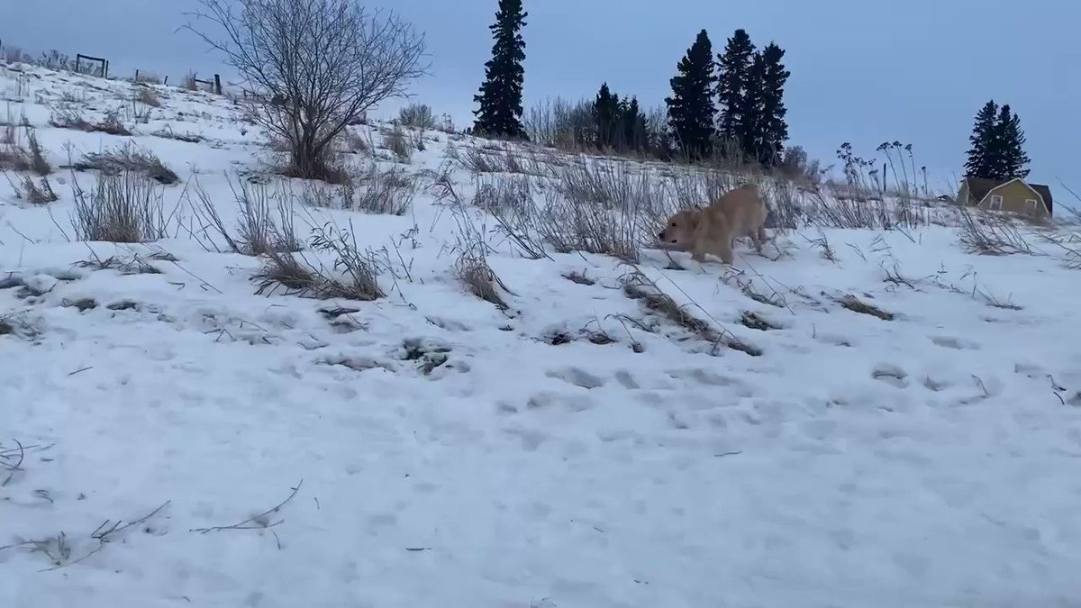 Bunsen and Beaker  Week 35 The temperature has dropped, more snow has fallen and dadguy falls down a hill at the end. So you know, great content. Also sunsets and dogs. #MondayMotivation #MondayMorning #dogs