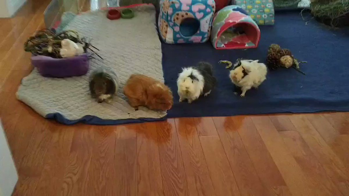 The Breakfast Shuffle was more orderly when Charlie was in charge ❤️ #guineapig #MondayMorning #AlphaLife