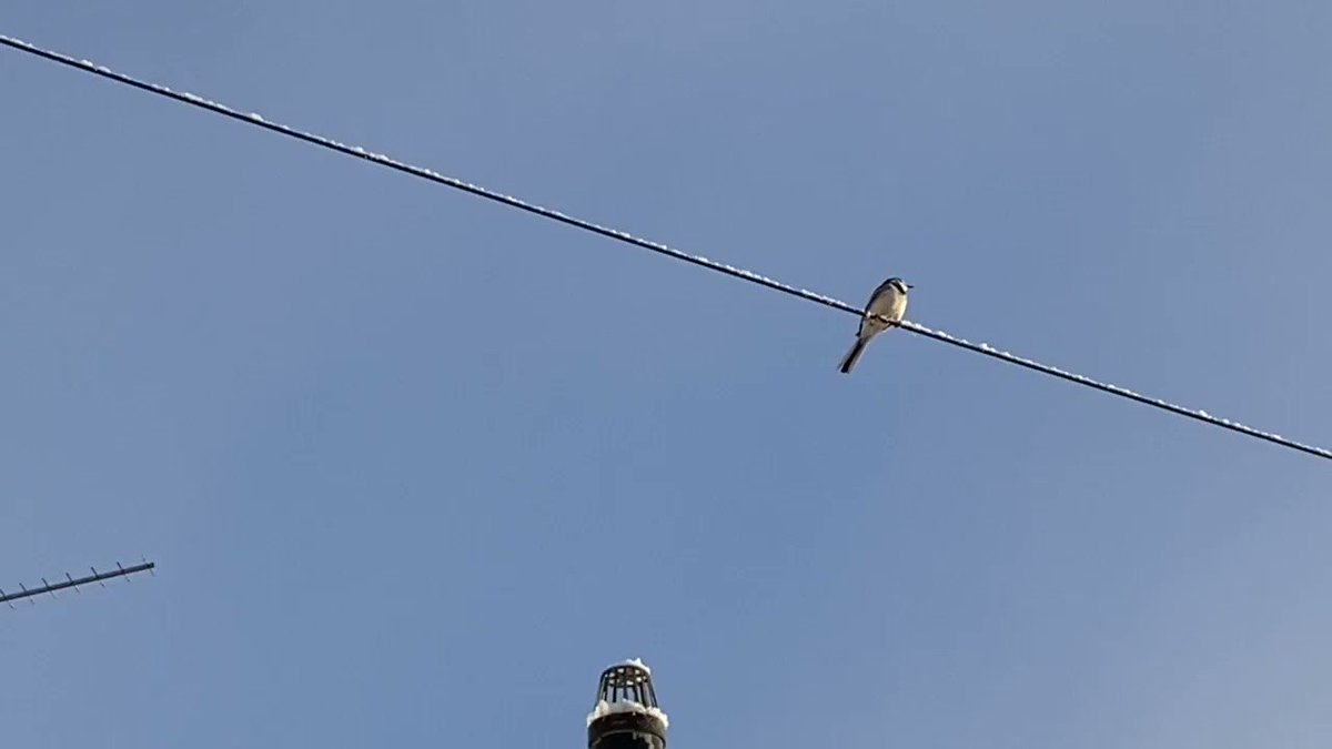 The pretty sound of the #PiedWagtail above me on another telephone wire made me smile and great #MondayMotivation This #bird can sing the loudest above the #sparrows #starlings when they want to, who are chirping in the #hedgerows behind home. #BirdsOfAFeather stick together.