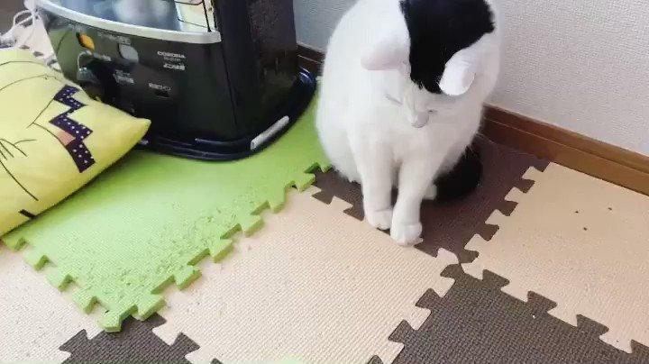 もう可愛いしか出てこない😍💕  #私の目線 #尊い #もふもふ #ハート猫 #猫が好きすぎて辛い #にゃんすたグラム #猫好きさんと繋がりたい #猫がいる暮らし #拡散希望RT #にゃんこ #猫動画 #おもしろ猫 #ねこじゃらし #RTで私を有名にしてください #ネッコ #yummy #pretty #むちむちボディ #猫との暮らし