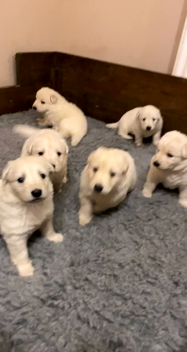 Here's a video of our puppies to brighten up your day puppy #dog #dogsofinstagram #puppylove #dogs #dogstagram #instadog #puppies  #dogoftheday #love #doglover #doglife #doglovers  #puppylife #pets #doggo #instagram #puppyoftheday #puppygram #dogsofinsta #ilovemydog #pup