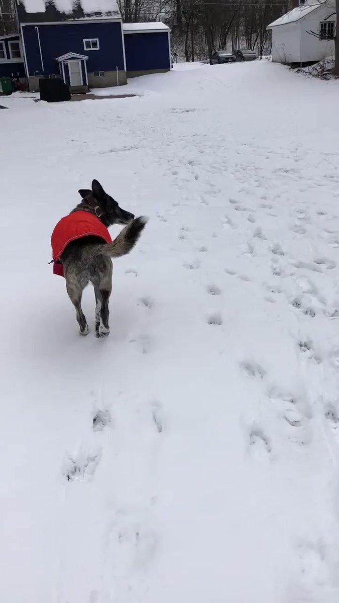 😂😂 These two!! 🤣☃️🤣💙❄️💙#daisyandrosie   #WackyWednesday #WoofWednesday #snowdogs #snowday #dogsoftwitter @dogcelebration #dog #doglife #AdoptDontShop 🐾❄️🐾
