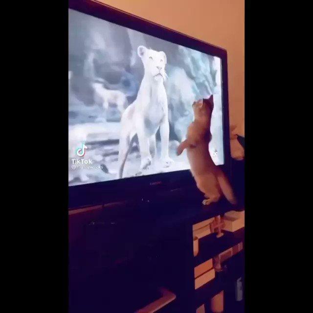 Foi emoção demais para o felino.🦁 . . #cat #gato #emoção #thelionking #oreileao #tiktok #reels #vídeo #humor #liveaction