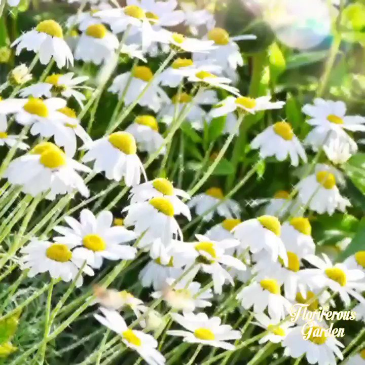 Camomile  For more on flowers & organic gardening check here  #nature #travel #love #photooftheday #landscape #flowers #naturelovers #beautiful #sunset #art #wildlife #spring #sky #mountains #like #adventure #flowers #birds #naturelover