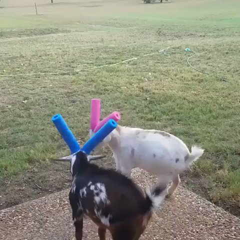 Replying to @panoparker: Today I learned that aggressive baby goats have to wear horn noodles to avoid hurting each other
