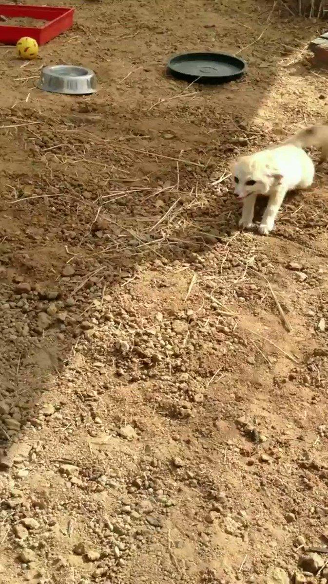 「親友と再会したフェネック」 南アフリカの国際霊長類救助隊に保護されたフェネックのルパートは、当時生まれてまだ4週間。それからネコのウィリアムと一緒に育った。なにかの事情でしばらく離れて暮らしていて、久しぶりに再会した時の映像だそう。全身で喜んでてかわいい。
