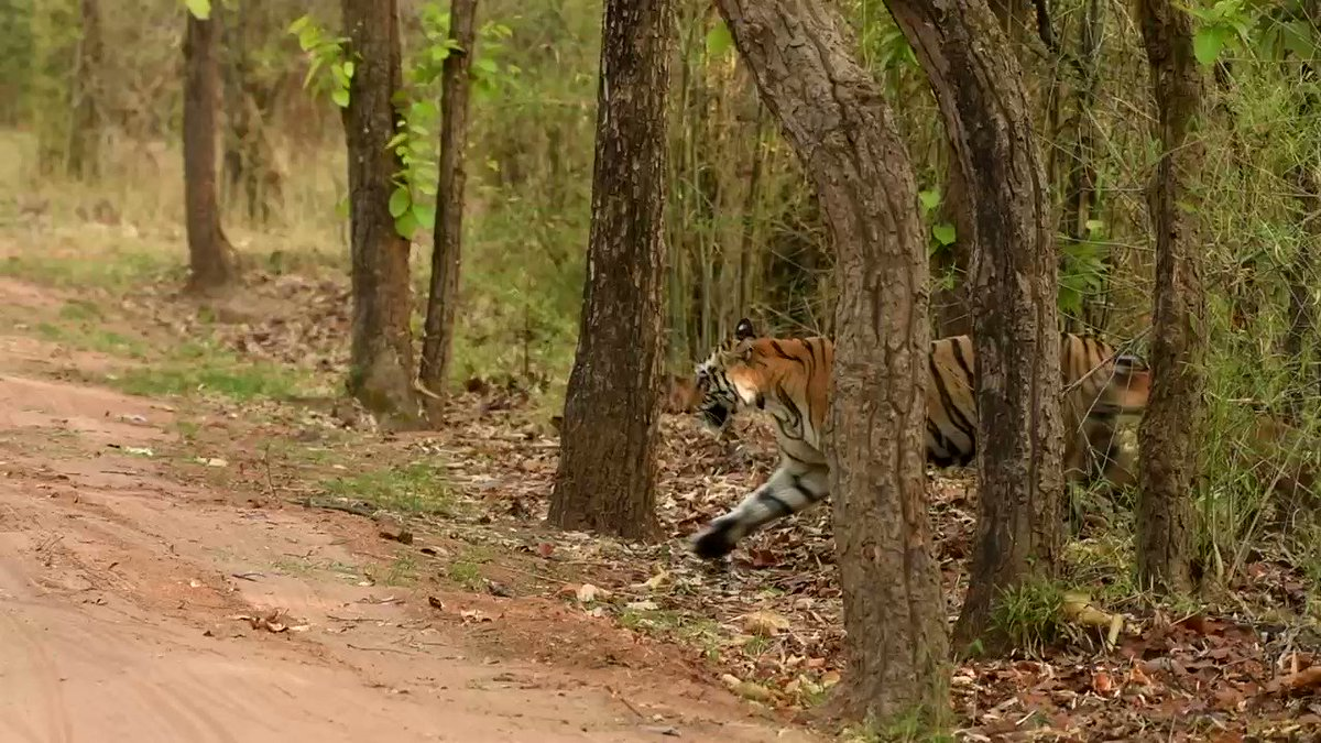 This was taken by me in Bandhavgarh .   This tigress I believe died  soon after,how I am not sure , and the cubs were put in an enclosure   #bandhavgarhtigerreserve