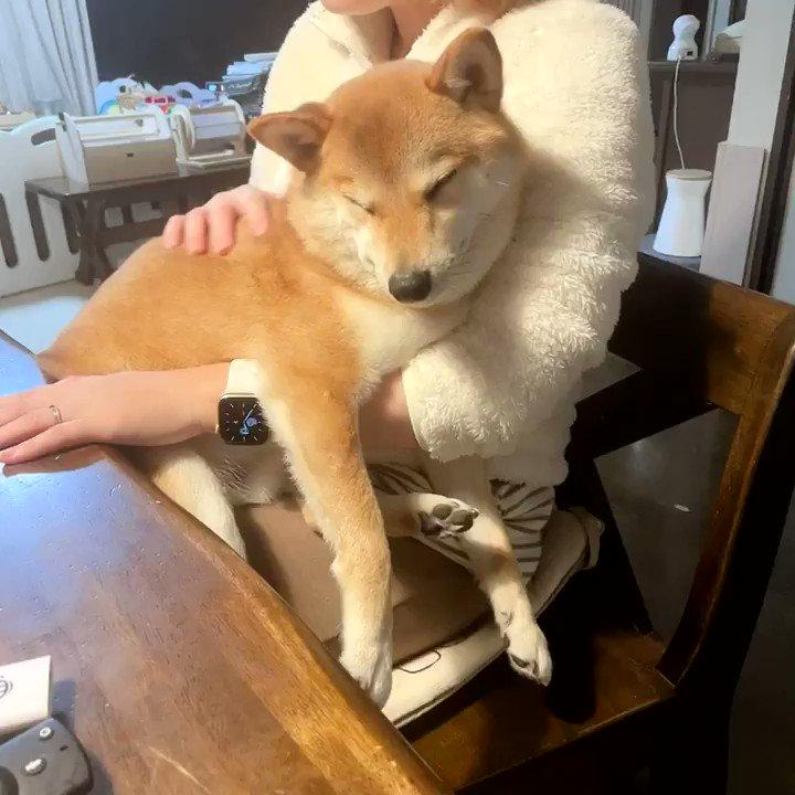 抱っこが気持ちよくてそのまま寝てしまった柴犬