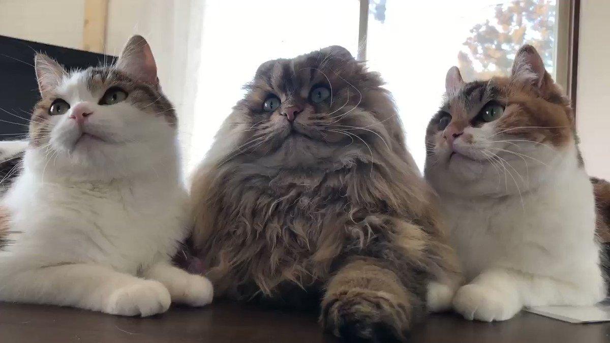 父だけシンクロならず🐻💧電池切れかも…(⌒-⌒; )#アメリカンカール #ペルシャ猫 #americancurl  #cats #三毛猫 #ねこ #猫好き #子猫 #perciancat