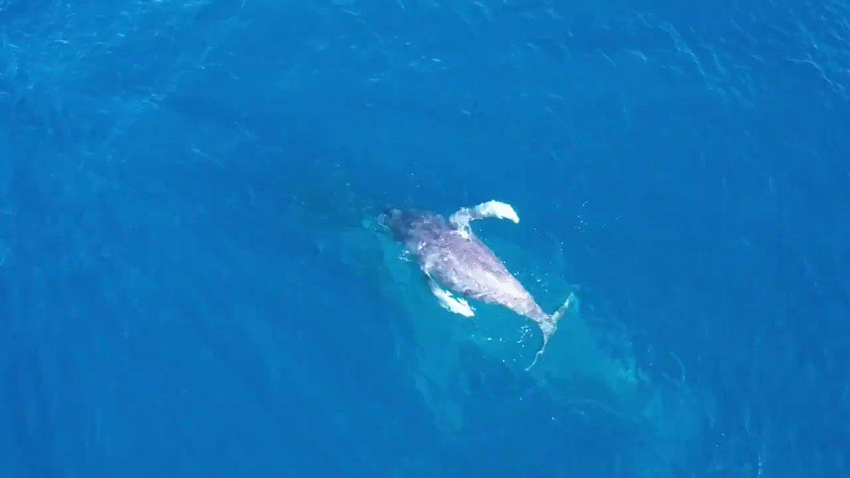 奄美大島で撮れた貴重映像。ザトウクジラの親子📸  @rito_life_com
