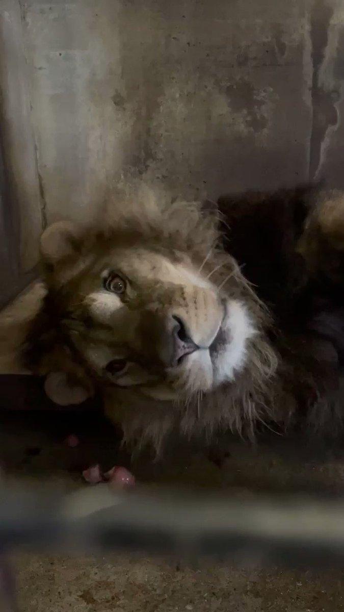 室内でリラックスタイムなヤマト#おびひろ動物園  #obihirozoo#ライオン  #ヤマト