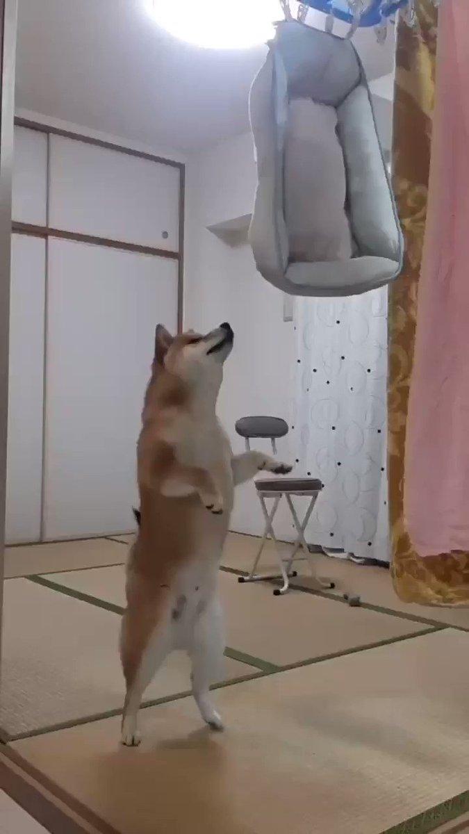 大切なベットを洗われて愛犬からひたすら文句を言われ続ける#シヴァ犬 #愛犬