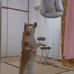 大切なベッドを洗われて怒る柴犬が話題!文句を言っているように聞こえる声が面白い!