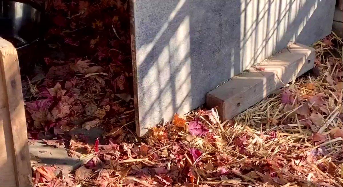 埋めたお肉の順番待ち。blog()#おびひろ動物園 #エゾタヌキ#obihirozoo   #raccoondog#今日のたぬき  #モユクカムイ