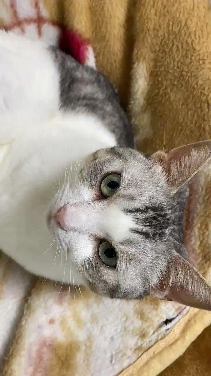 とうふちゃんと見つめ合う。#猫 #大豆姉弟