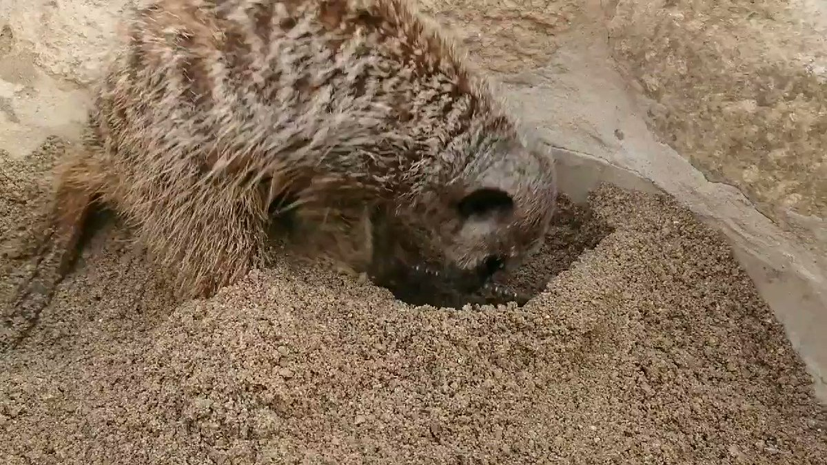 ミーアキャット舎に新しい砂場をつくりました#飯田市立動物園#ミーアキャット