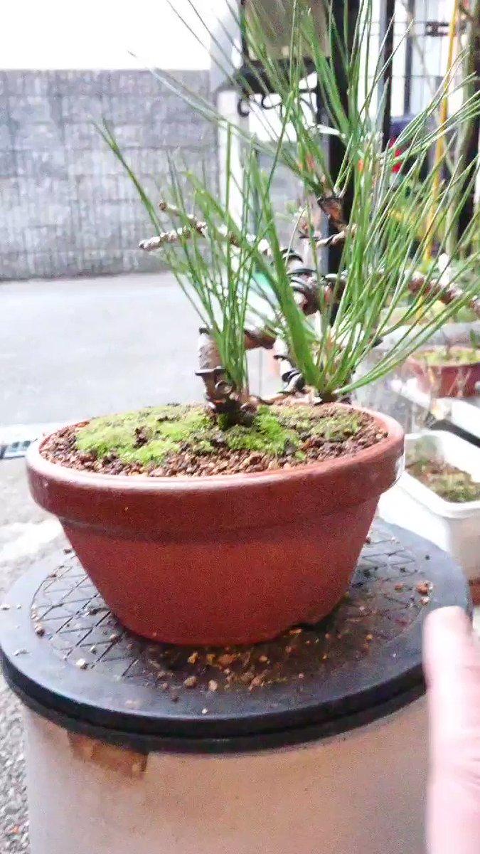 ここまで、やってみました〜まだまだ、手を入れていかないと、、徐々に徐々に、、、#黒松盆栽