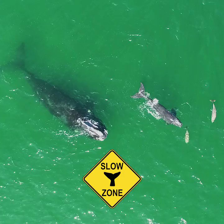 Boaters from ME-VA: Want to help protect #endangered right whales? Sign up for emails/texts about where they are and where you should slow down and keep a sharp lookout. #WhaleWeek go.usa.gov/xs2Ws