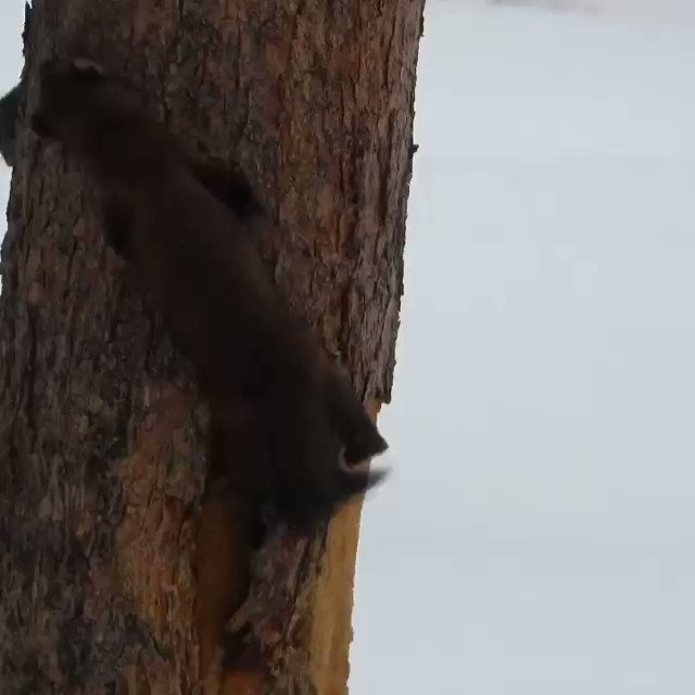This is a very impressive chase between a pine marten and a red squirrel in YNP.  I was holding my breath for the squirrel!  😱 Seems the squirrel triumphs in the end...for now... 🐿️🙂 Video by Jason Kladiva.