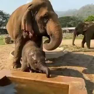 Cuteness overloaded💕  Baby elephants don't really know what to do with their trunks.They swing them to and fro and sometimes even step on them. They will suck it like human kids many a times.  By about 6 to 8 months, calves begin learning to use their trunks. Shared.