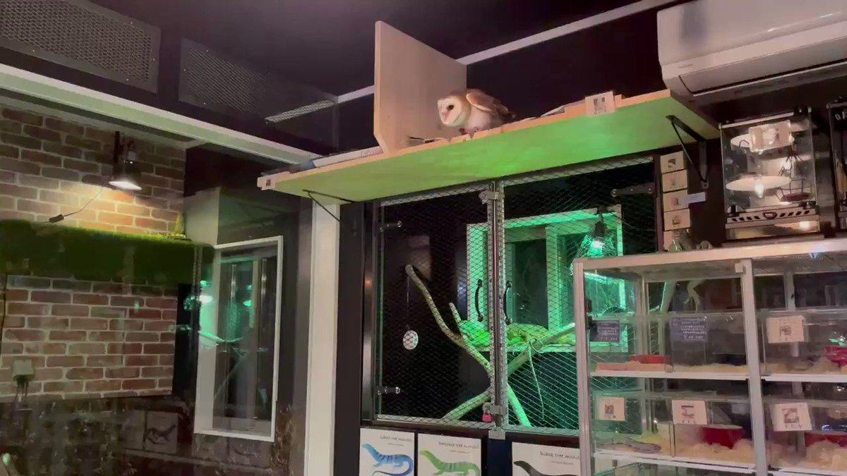本日もありがとうございました。 閉店後メンフクロウほたて、フライトトレーニング中🦉 上手に飛べました♪ 水、木曜は定休日となります。 また金曜日、皆様にお会いできる事を楽しみにしております❤️ #メンフクロウ #ほたて #猫カフェ #爬虫類カフェ #catsandreptilescafeoddeye #oddeye #おっどあい