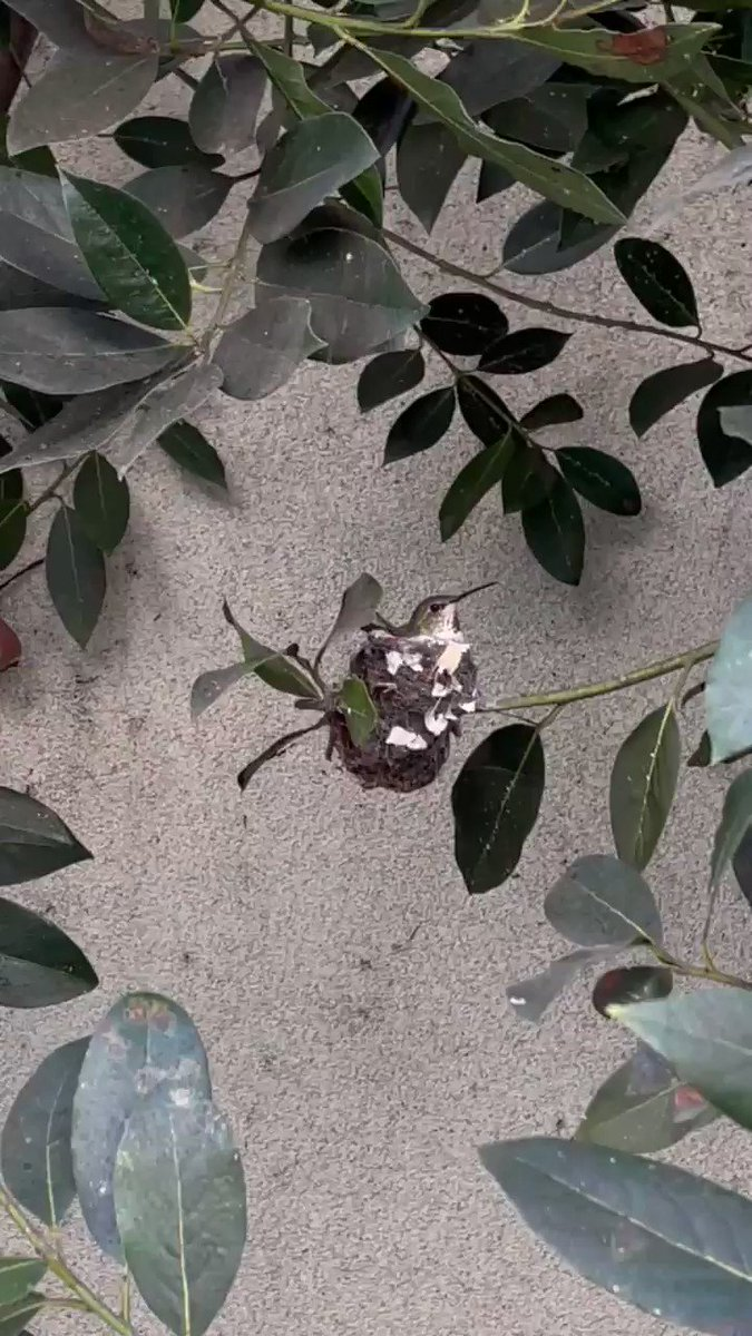 There's a hummingbird nest in my backyard. I'm freaking out. It's so beautiful and sweet I almost cried this morning. I feel so lucky she chose me!!!! 😭😭😭😭