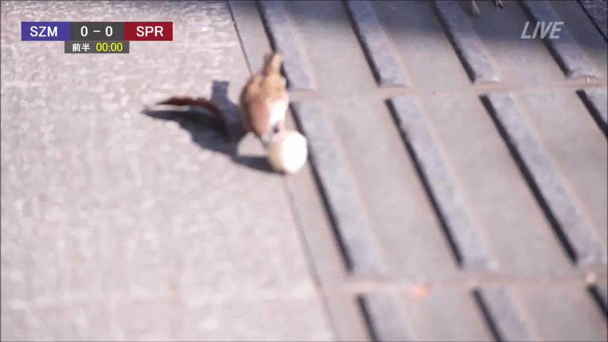 公園でスズメがサッカーしていたので?実況してみた!