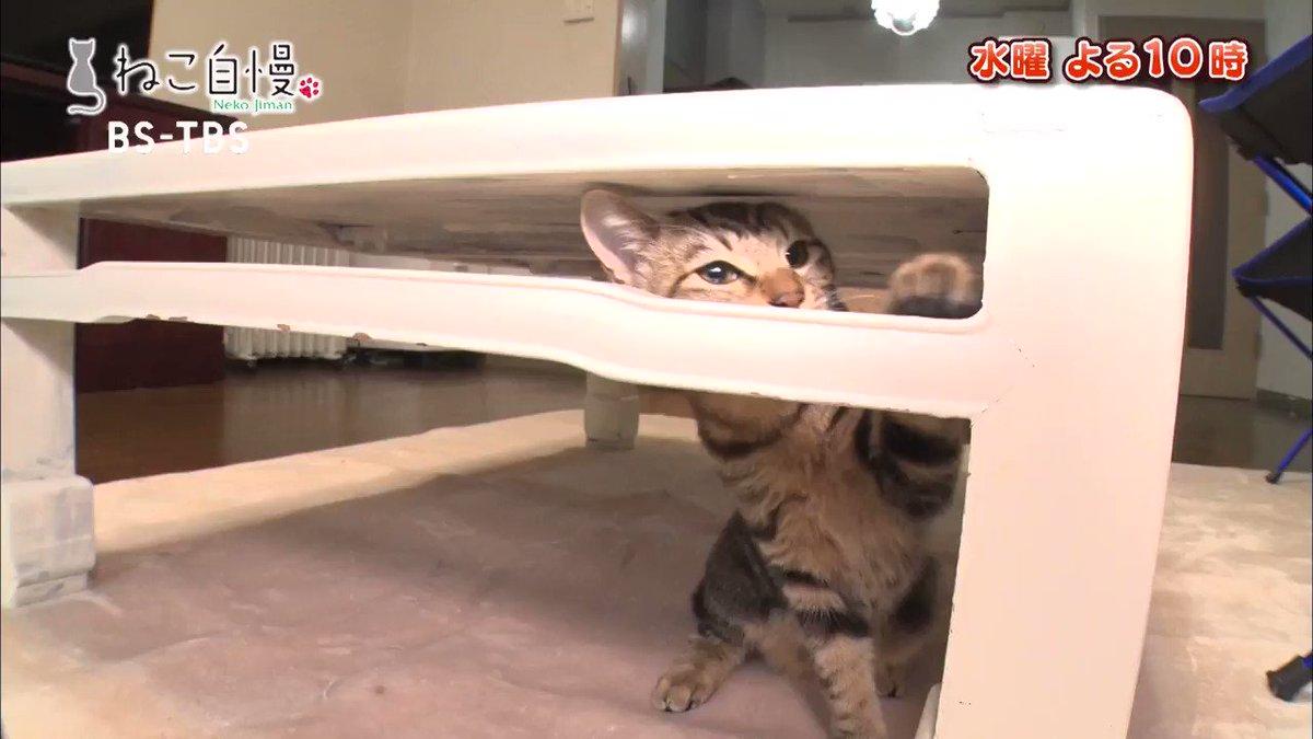 次回のねこ自慢#56 ★猫の幸せを願う保護猫シェルターを取材! ★神秘的な瞳を持ったきょうだい猫! ★巨大化した猫が街を破壊!?ゴジラ猫! ★大自然の中でオープンした癒やされ度 満点の猫カフェ! #ねこ自慢 #ポルコ #フィオ #アブ #カブ #ライア #ナラ #レオ #サラ #虎之介