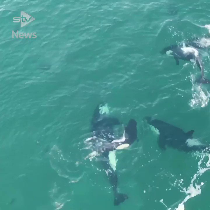 Incredible drone footage captures eight killer whales playing off the coast of Shetland. https://t.co/xCllv7I8Td https://t.co/SLRDuRno0n