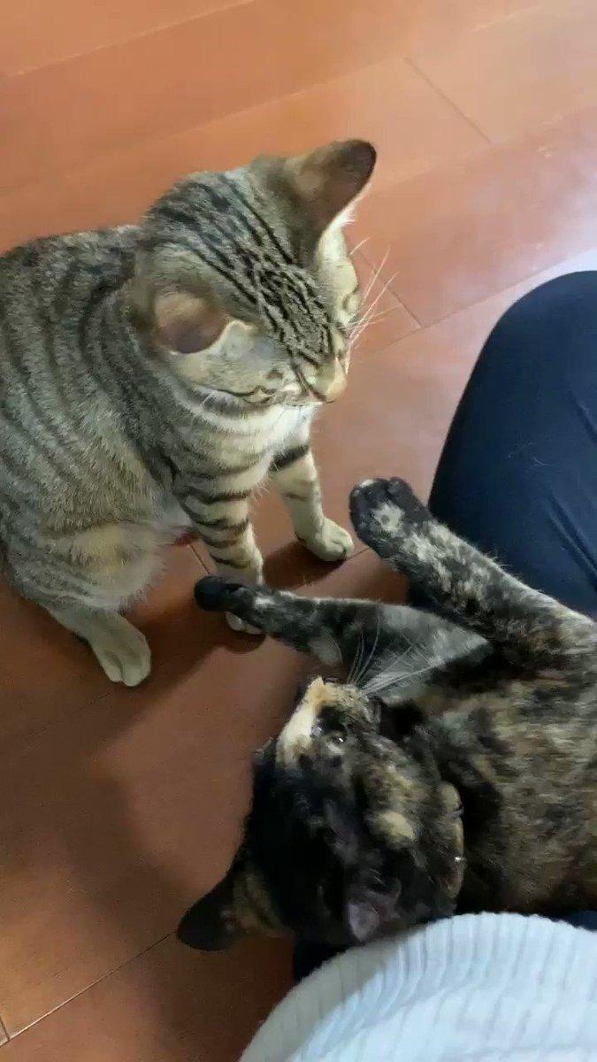 噛んでたようだね #猫 #cat #ねこ #猫好きさんと繋がりたい #キジトラ #サビ猫