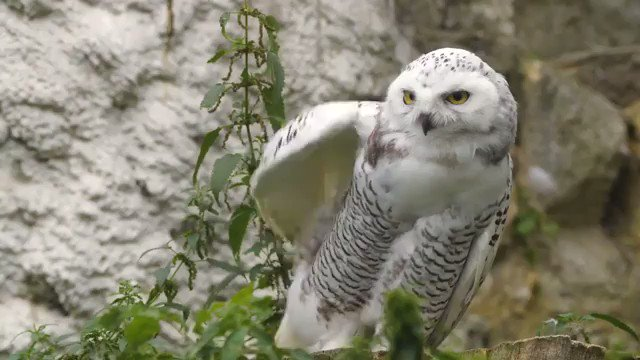 #Snow #Owl #Fascinating #Spectacular #DreamEscape #WishIWasHere #WhatAWonderfulWorld #Winter #WinterSolstice #wintertime #Winter2021 #invierno #Invierno2021 #Wow #Awesome #Amazing #Aww #Adorable #Cute #Sweet #Spectacular #Marvelous #Wonderful #AmazingAnimals #WhataWonderfulWorld