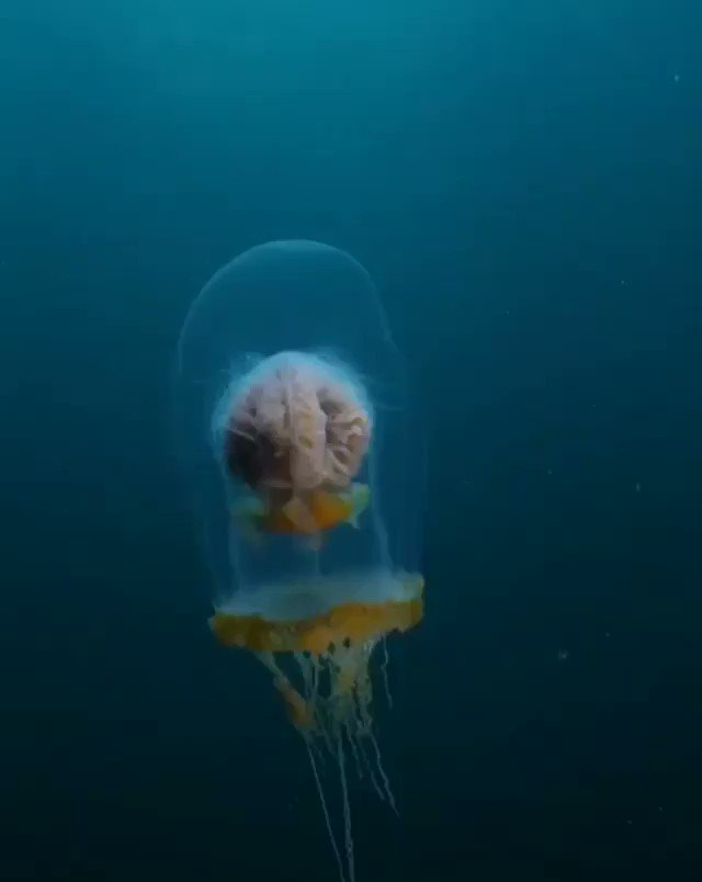 """This Is A """"Blop Top Jellyfish"""". All Life Forms Are 💯% Adorable & Precious. 💖  #Lifes A #Wonder #Dont #Cha #Think #Sea #Critters #Ocean #Life #Prescious #Adorable #Amazing #Magical #Creature #God #Creates #Remarkable #Images #Water #World #Deep #Breath #Blop #Top #Jellyfish"""