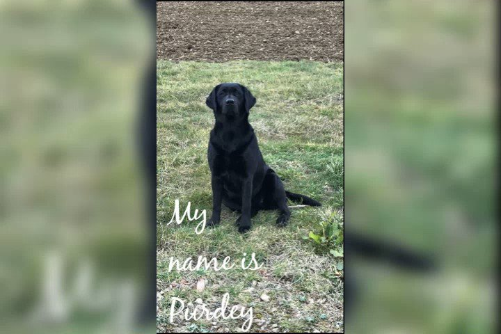 #findpurdey STOLEN CANCER SUPPORT DOG owner RECOVERING FROM CANCER devastated #leicestershire Female black lab Microchipped stolen alert 07866026343 @LeicsRuralCrime @BBCLookEast @CapitalEastMids @ITVCentral @thismorning @EamonnHolmes @RuthieeL @VictoriaLIVE @theJeremyVine @LCFC