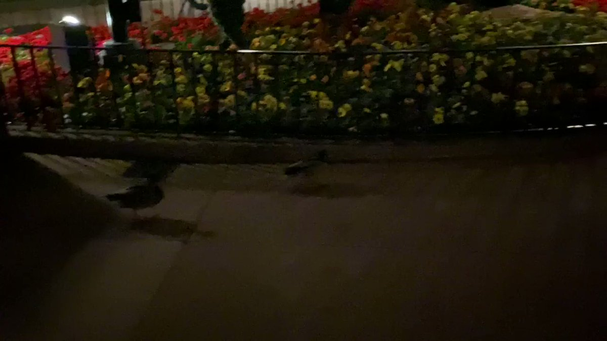The #Epcot ducks doing the final security sweep.