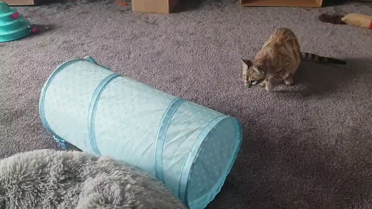 This tube has offended me. I will not sleep until it has been torn to pieces, and...ooh, post! Anything for me? #CatsOfTwitter #TeamBengal #SnowBengal