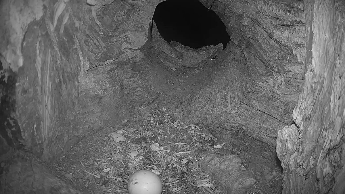 I have very sad news 😢 Both tawny owl chicks failed to hatch 🦉😢 The 1st was lost on Friday & the 2nd never chipped open. This is the moment Bomber returned to find it cold and deserted. You can hear him call out to Luna - he sounds so mournful. 😢
