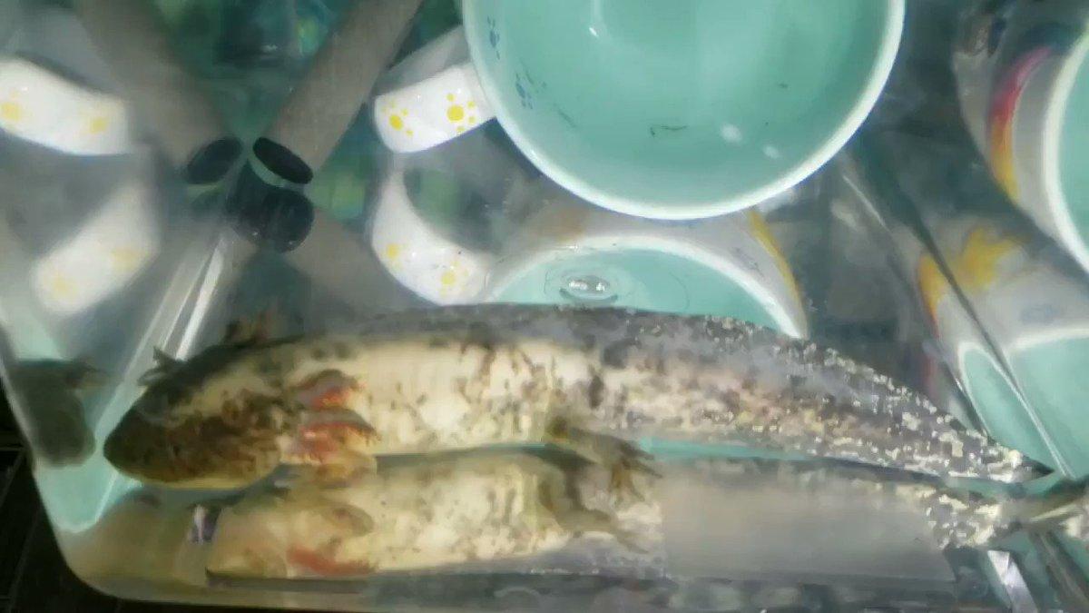 あ~そっか、明日は都立合格発表か~ もしかして山梨も? 幼なじみのママ友もドキドキハラハラしてたわ~。 私はイケメン礼頭亜の世話を終了した~寝るか~❤️  みんな明日は希望高の🌸咲け~🌸  #axolotl #いつから受験におをつけるw #ウーパールーパー #イケメン #cool