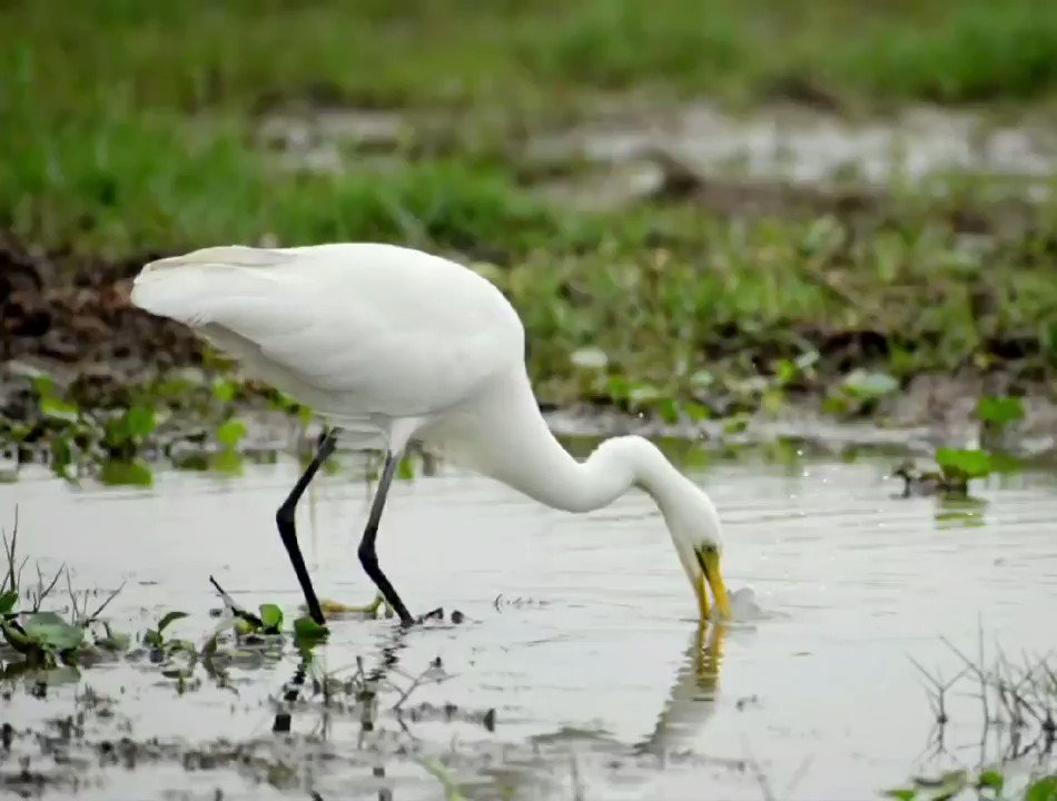 Once infamous for bird poachers' den, Mangalajodi's turnaround story is remarkable. From poachers to turning protectors of the migratory winged friends, villagers are now reaping benefits of sustainable means of livelihood as visitors enjoy The Bird's Paradise #Tourism #Travel