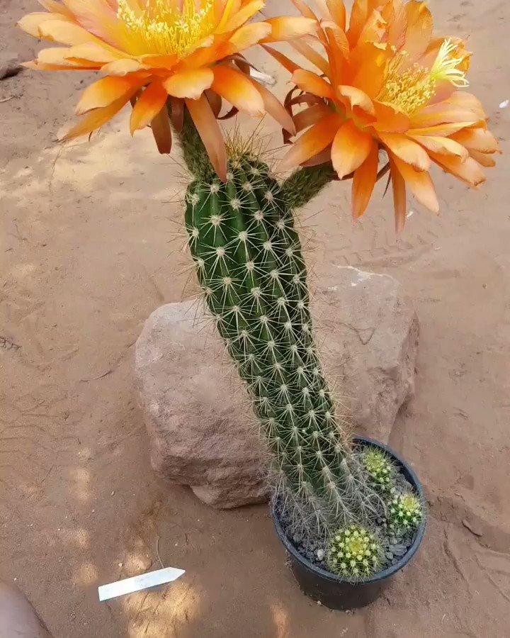 Trichocereus Hybrid ALLERGOLD. A Flying Saucer x Cantora Hybrid. Flowers are huge and over 20 cm in diameter. 🌵 #cactus #cactusflowers #flowers #echinopsis #gardening #garden #cacti #flower #plant #succulents #trichocereus #vlog #gardentv #cactusjerk #lobivia #plants