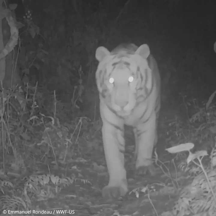 It's #WorldWildlifeDay! Today #tiger scientist @MekongTom tells us what the world gains when we protect tigers, because when we save tigers we protect so much more >    #TX2 #worldwithoutnature