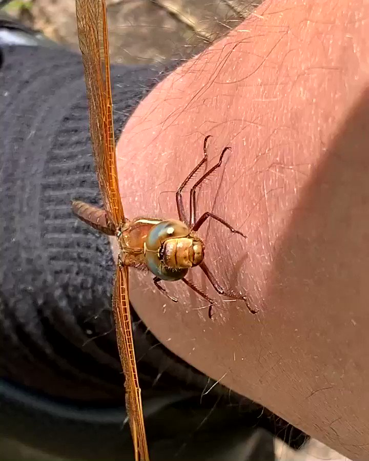 It's #WorldWildlifeDay and I don't have many good photos of things that would prefer not to be in photos but this was a fun encounter. The Brown Hawker - Aeshna grandis.