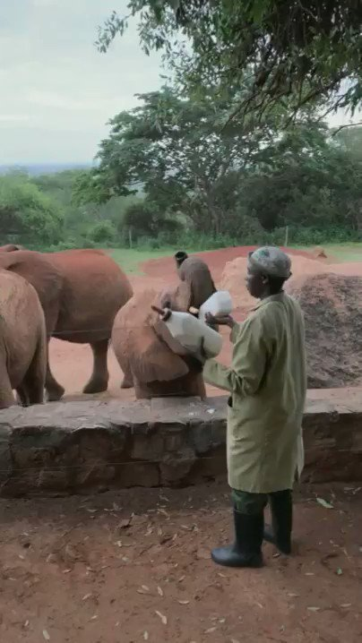 We are #BehindTheScenes at the Voi Reintegration Unit breakfast bar where milk and lucerne pellets are on the menu for these orphaned #elephants.