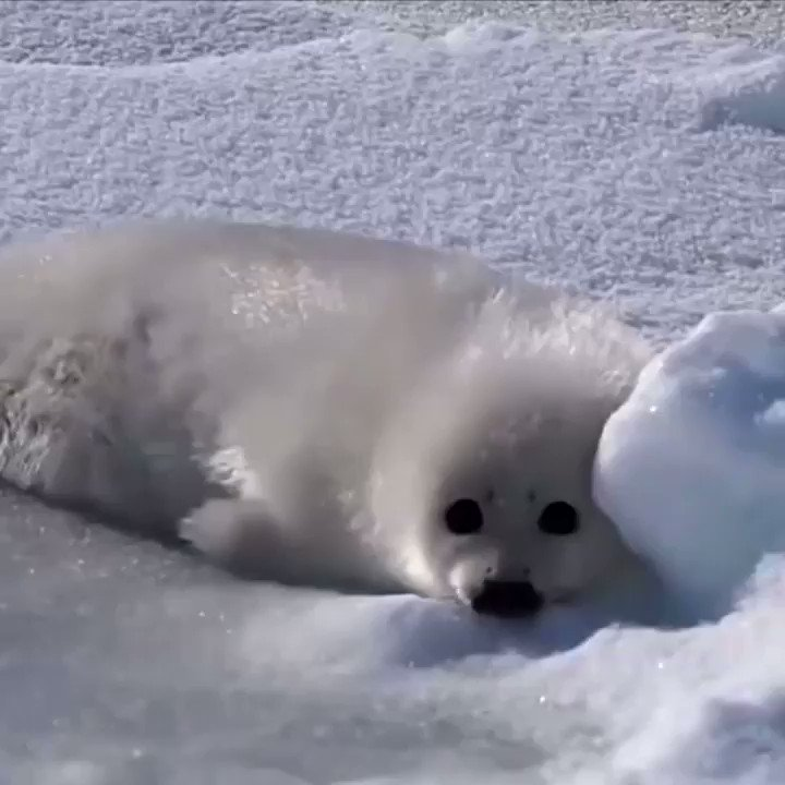 Baby sea pupper tries to roll over.. Listen to his reaction at the end 😅