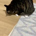 自分のしっぽを見失ってあたふたする猫!一生懸命に追いかける姿が面白い