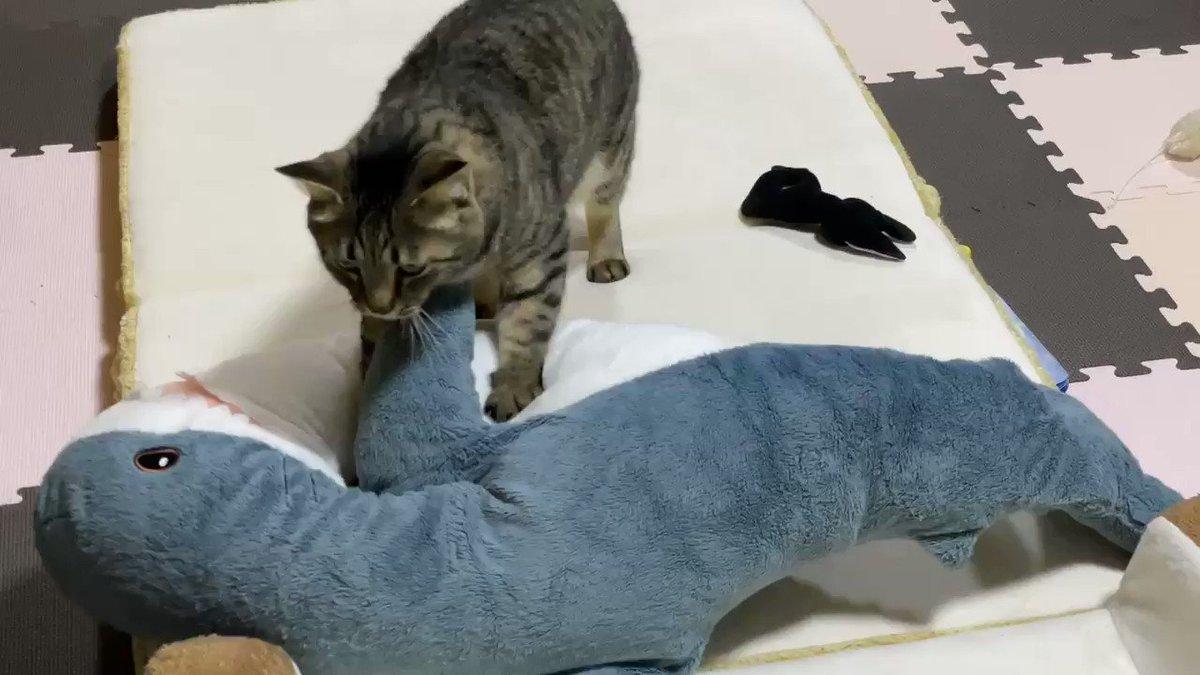 ねこでも、ねこでもみろ……サメこねこねねこでもみろ…