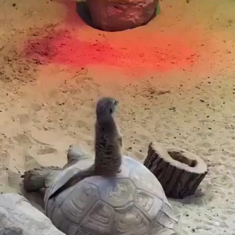 If you've already seen a meerkat chillin on the back of a turtle today just keep on scrolling...https://t.co/sOoOn2aAZO