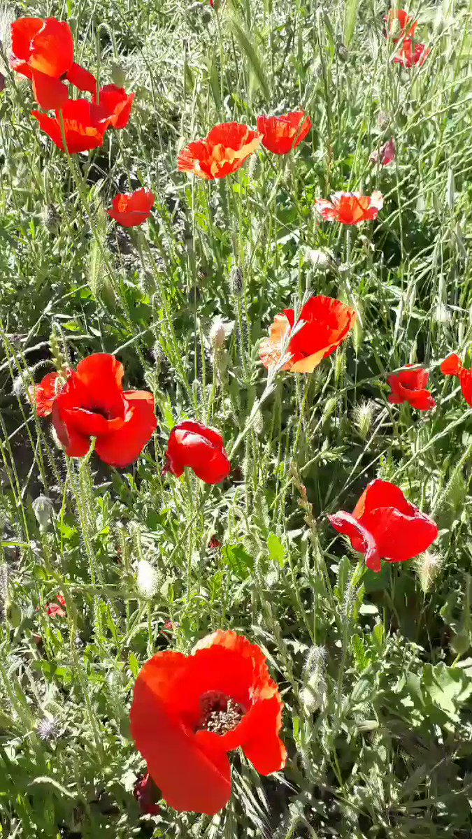 Red poppies are a symbol of both Remembrance and hope for a peaceful future. This snap was taken this afternoon in the region of #bejaia, #Algeria. I know @QuaveEthnobot likes poppies!