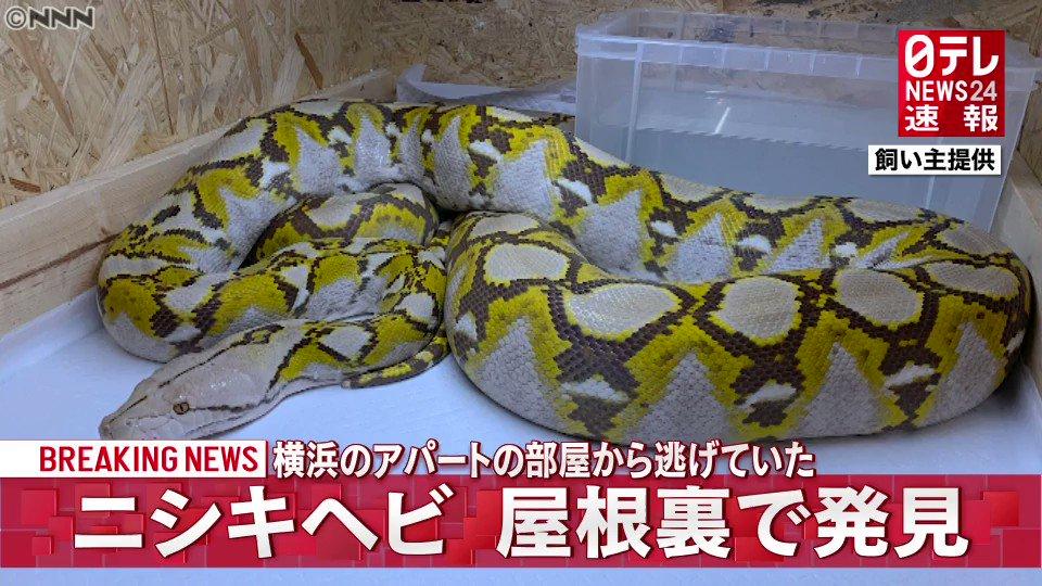 生きてた、横浜市のアパートから逃げ出したニシキヘビが発見!