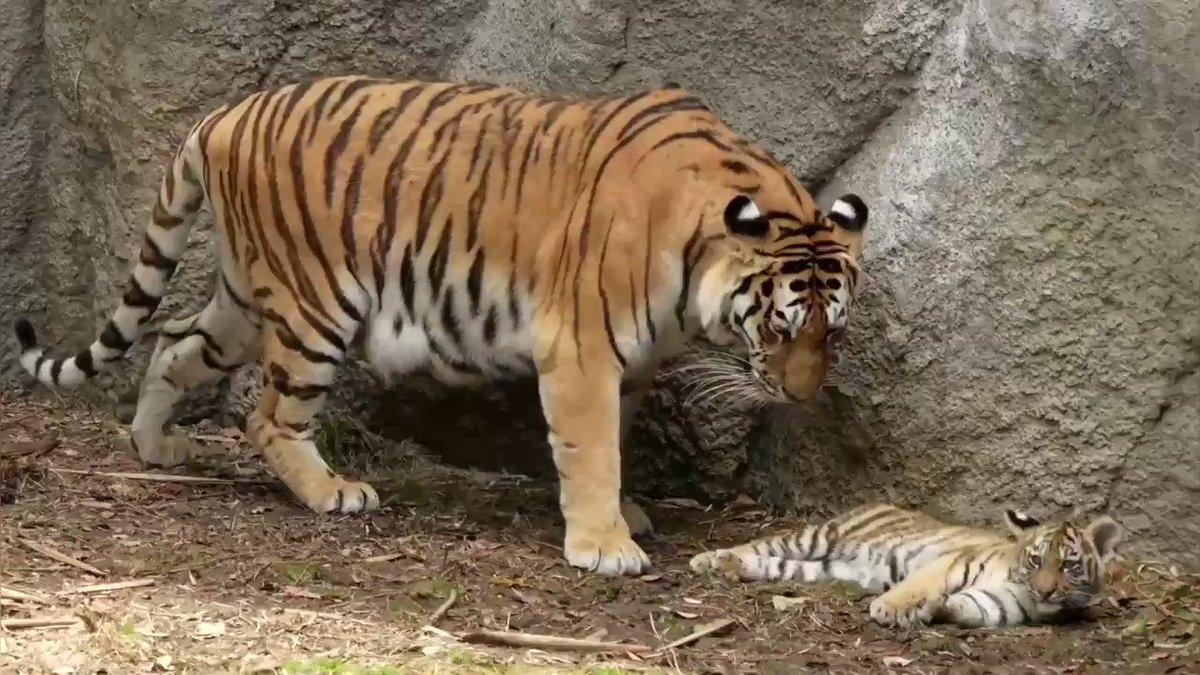 浜松市動物園のアムールトラのローラ親子。この前の動画の続き。 2頭、3頭、4頭とお母さんな甘えながら、最終的に四つ子が勢揃い。 #浜松市動物園 #アムールトラ #放飼訓練