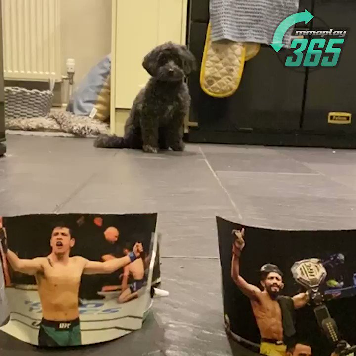 💥🐶 PET PREDICTIONS 🐶💥  Predictions at the ready... Watch as our MMAPlay365 pet, Lottie, predicts the #UFC263 co-main event championship fight, Figueiredo vs. Moreno 2‼️  Do you think her predictions are right?  #UFCBettingAdvice #UFC #PetPredictions https://t.co/oKLgEKZ7vL